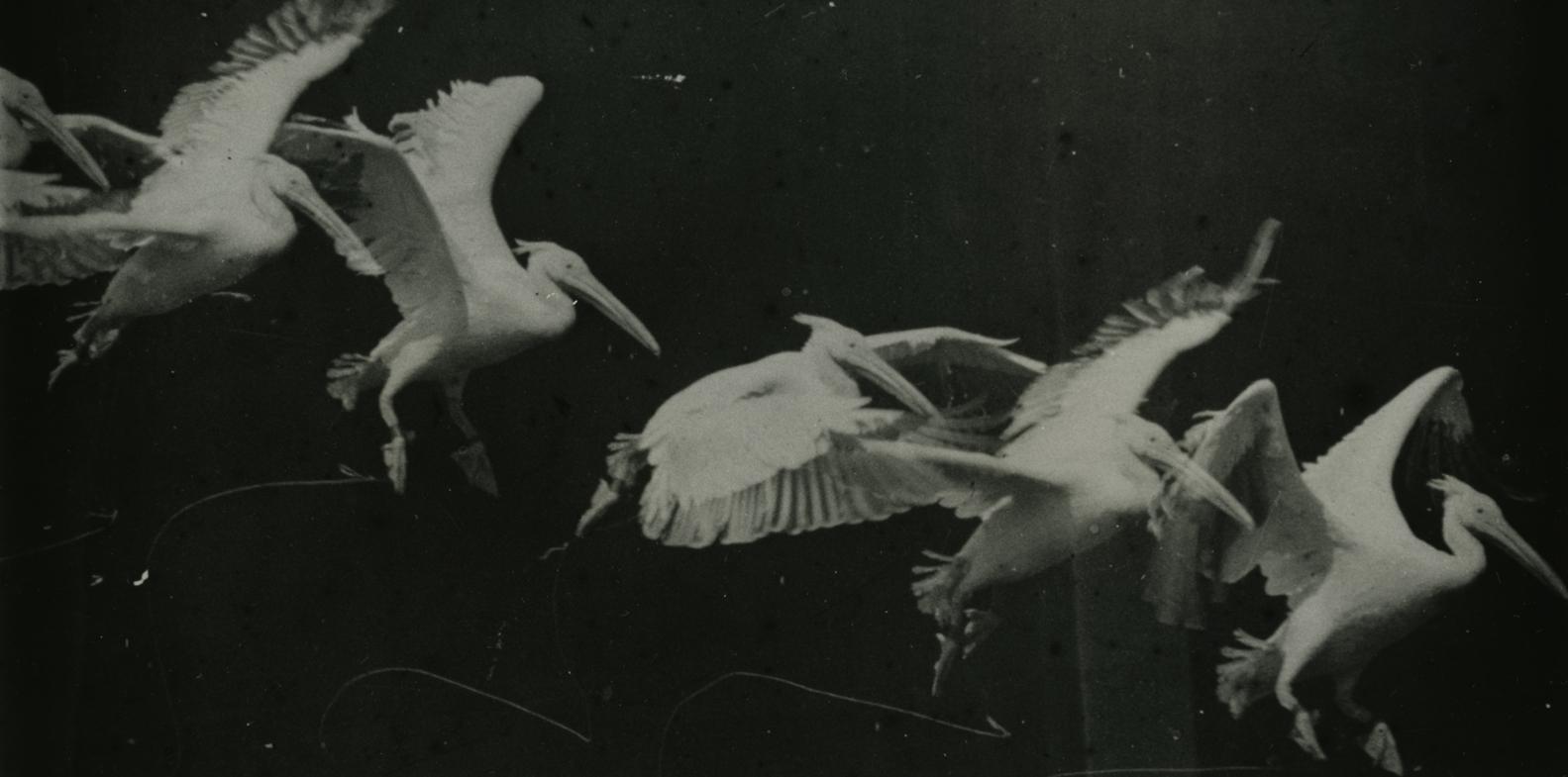 03. Étienne-Jules Marey, Bird Flight, Pelican, 1886