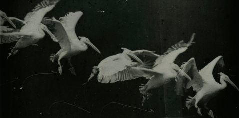 03. Étienne-Jules Marey, Bird Flight, Pelican, 1886