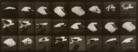 04. Eadweard Muybridge. Cockatoo in Flight. 1877