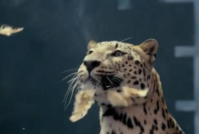 Jaguar vs chicken