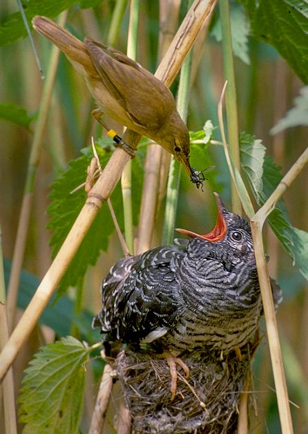 passaro-alimenta-uma-cria-cuco