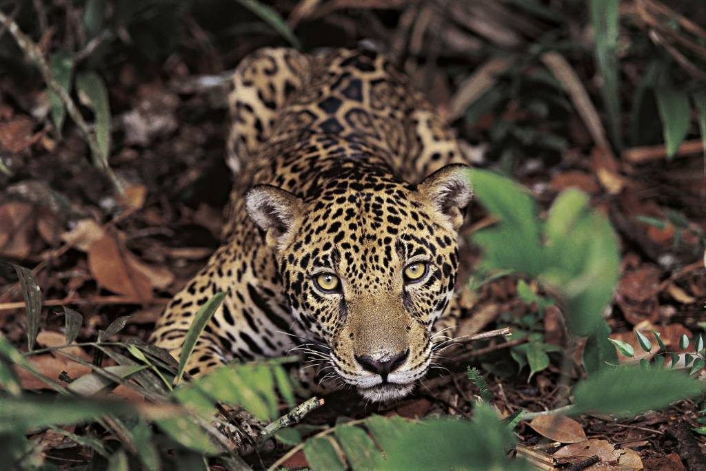 Onça Pintada. Amazónia. Fotografia de Araquem Alcantara.